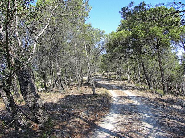 Camino entre pinos en Castejón de Valdejasa