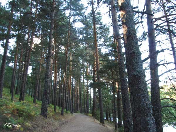 Rascafría. Camino entre pinos en la zona de la isla