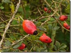 Fruto de Sauco