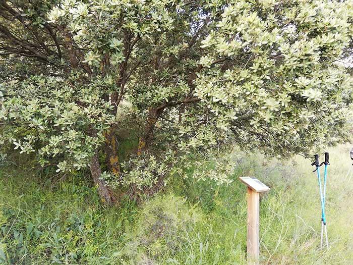 Encina y cartel de la ruta botánica.