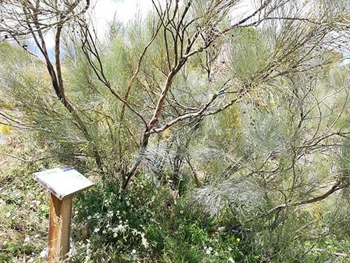 Retama y cartel en la ruta botánica de Alpartir