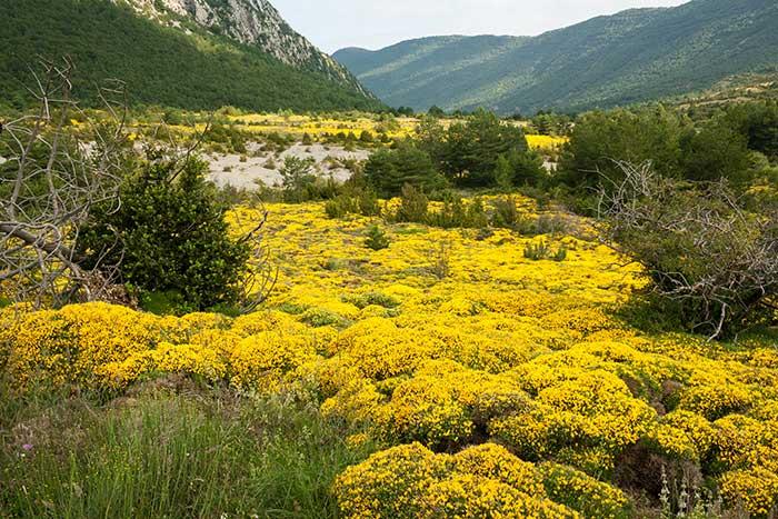 Erizones adornando el camino que lleva a la ruta del pico Peiró