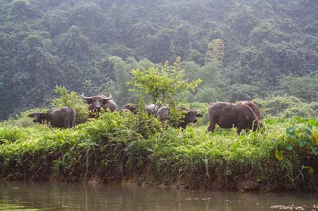 Tam Coc. Búfalos. Vietnam